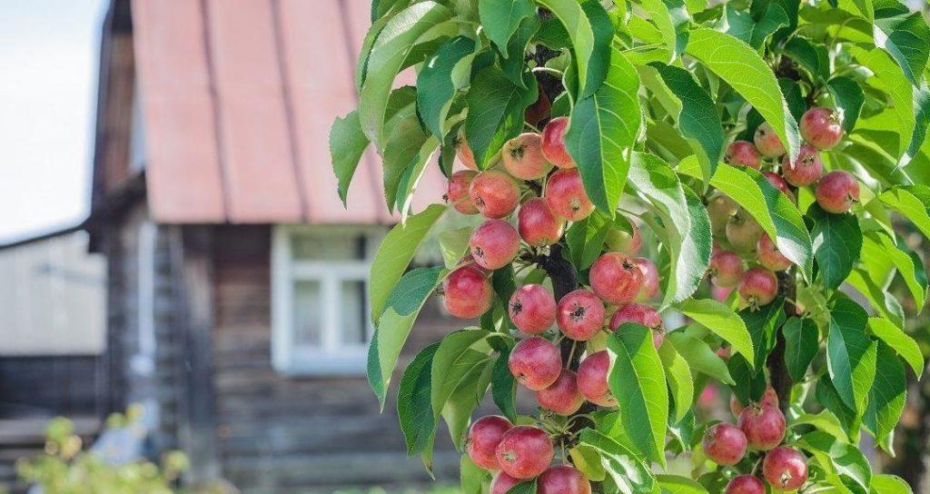 колоновидные яблони для подмосковья сорта купить
