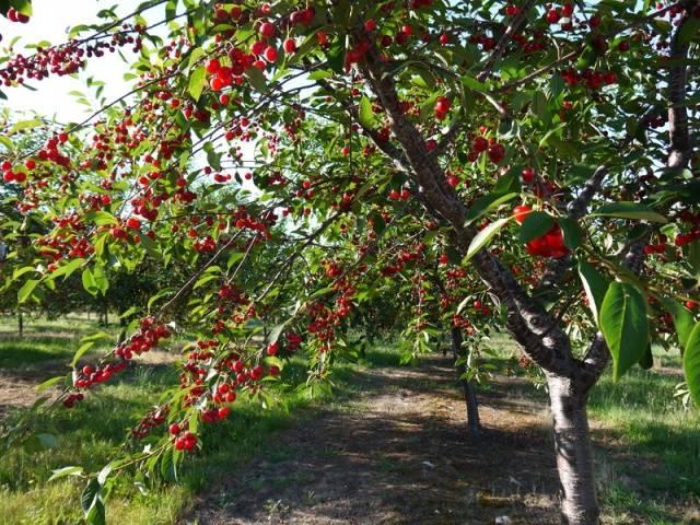 описание сорта вишня Владимирская
