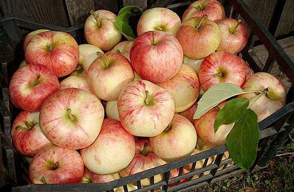 Урожайность яблони Конфетное