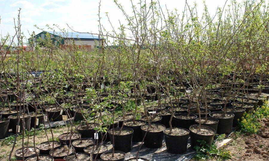 Купить саженцы яблони в питомнике