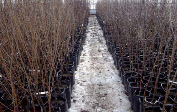 Где купить саженцы вишни Чернокорки