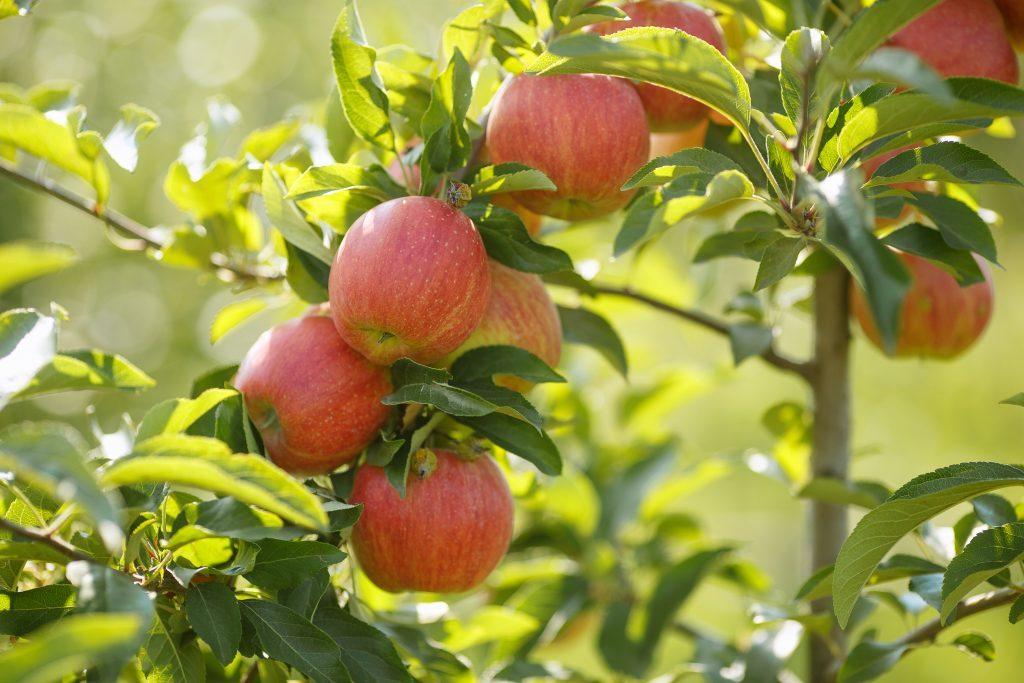 яблоки Штрейфлинг на ветке
