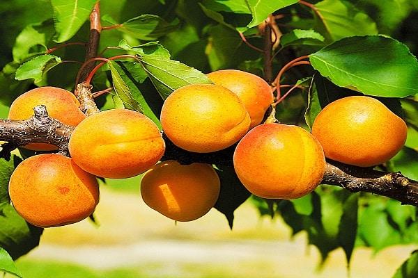Сорта абрикоса на Урале