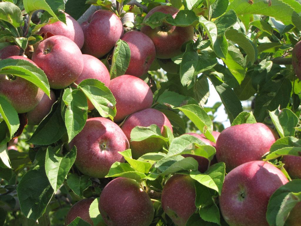 Как выглядит яблоня Макинтош