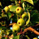 на яблоне мелкие яблоки