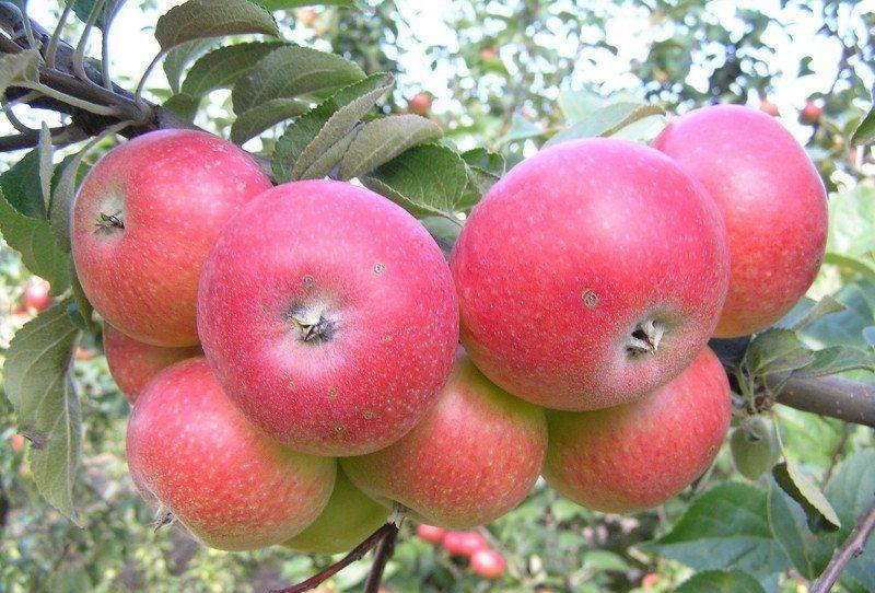 Описание яблони Елена