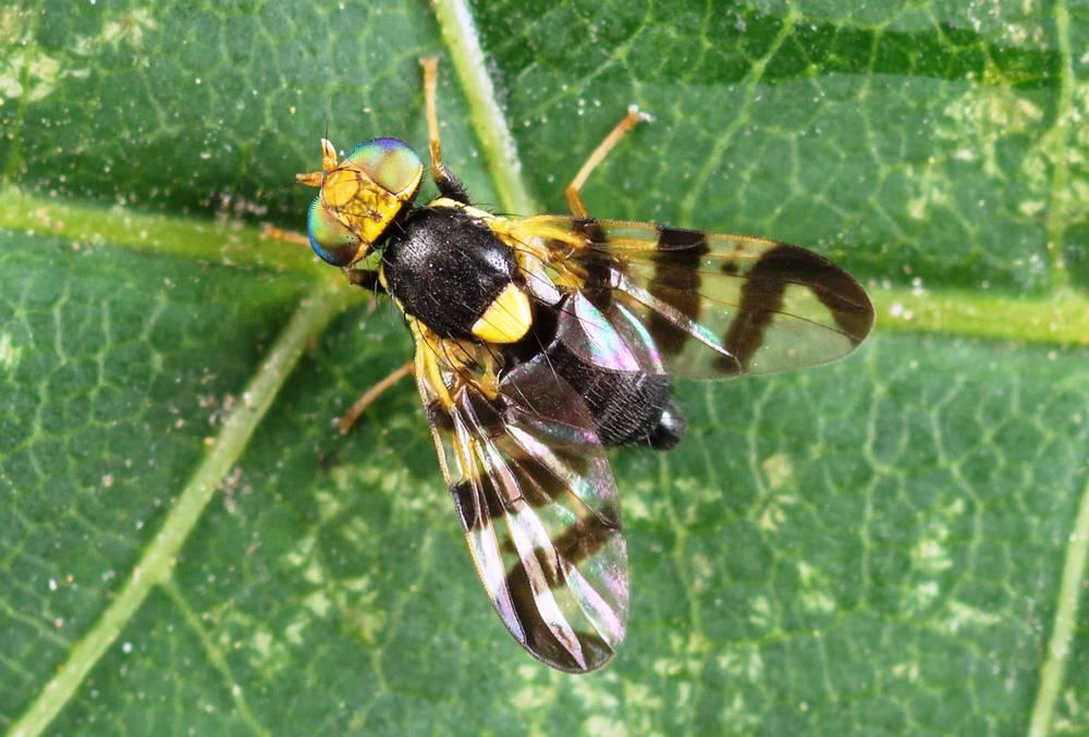 Описание вишневой мухи