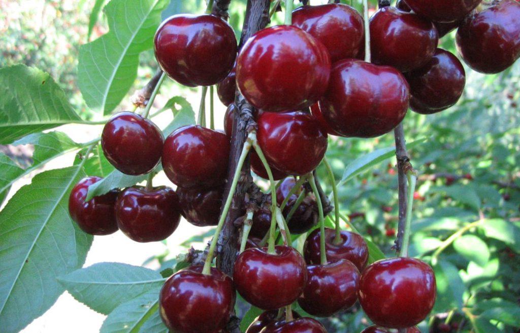 Как выглядит вишня Чернокорка