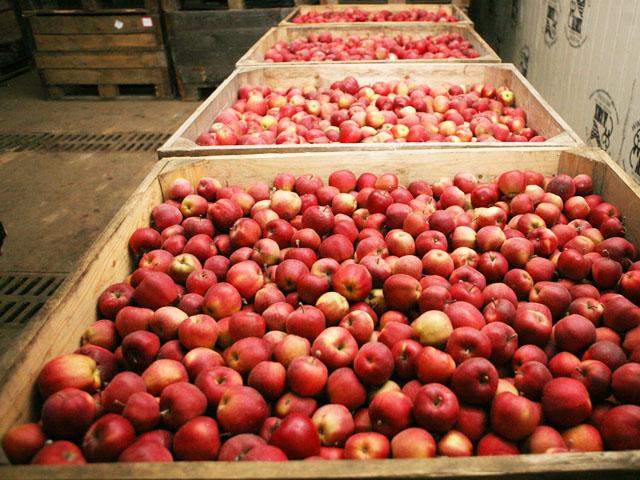 Сколько хранятся яблоки