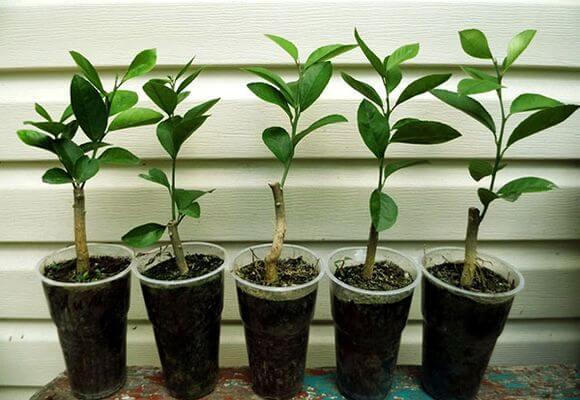 Как вырастить персик в горшке