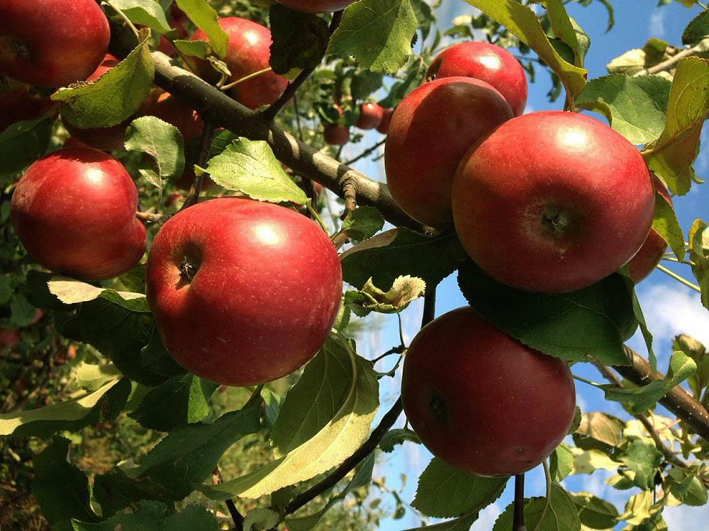 яблоня сорт белорусское