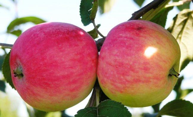 Нелли Мельба яблоня