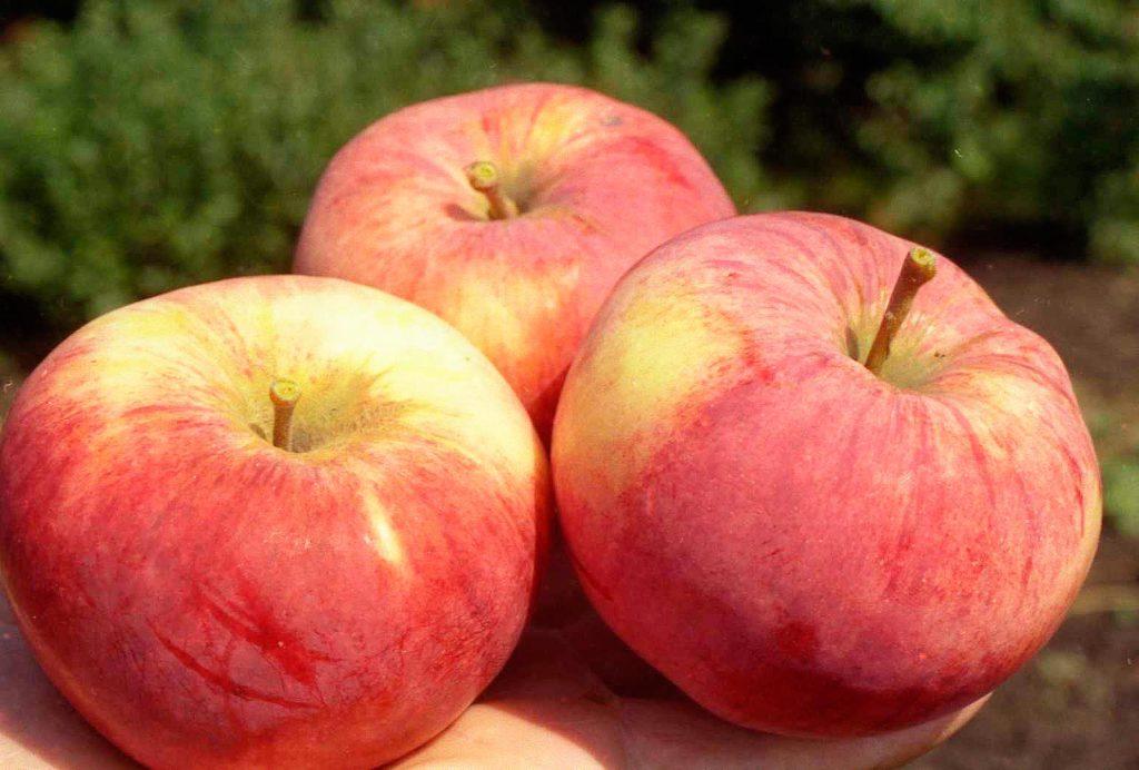 орловим яблоня описание