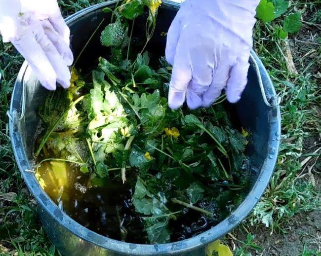 Как спасти клубнику от появления тли