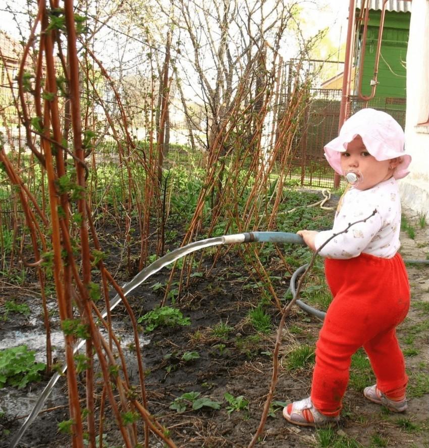 Как ухаживать за малиной весной