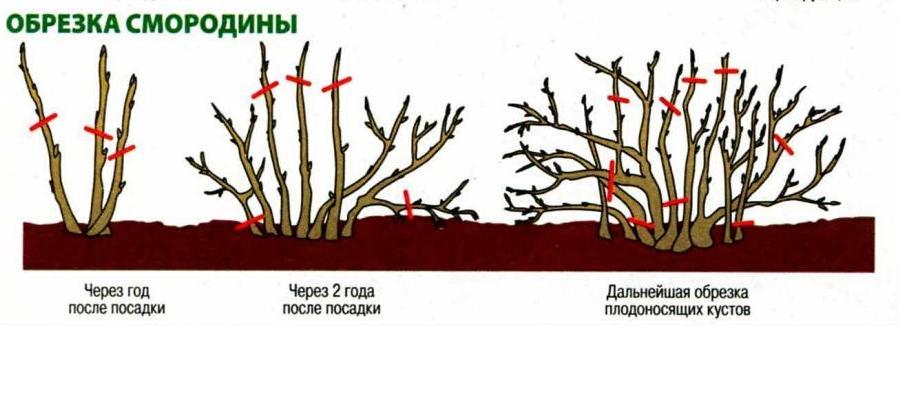 обрезка красной смородины весной для начинающих в картинках пошагово меня жалобы стандартные