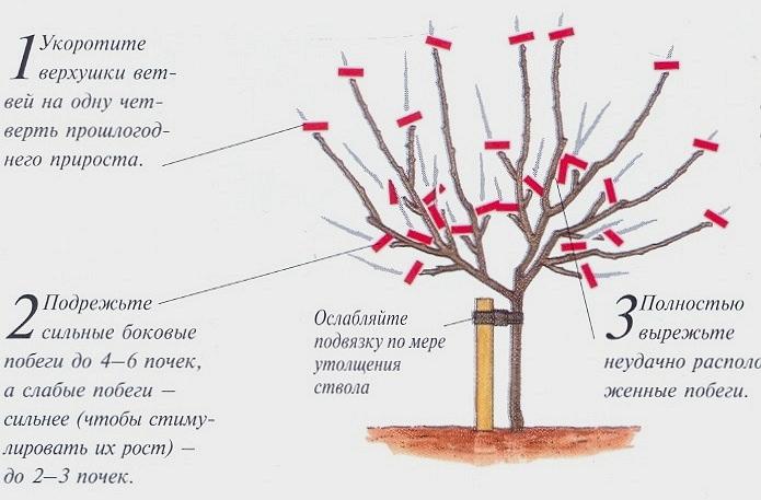 Как ухаживать за яблоней весной, летом, осенью