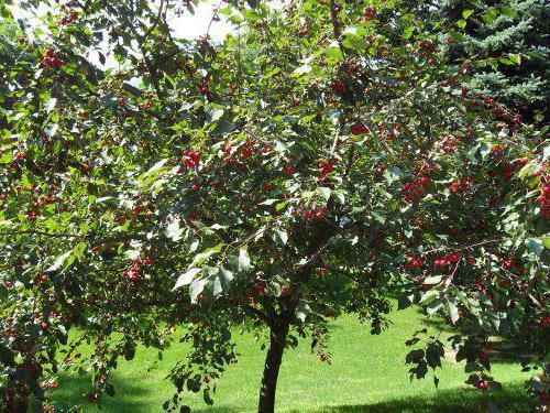 дерево черешня Ипуть