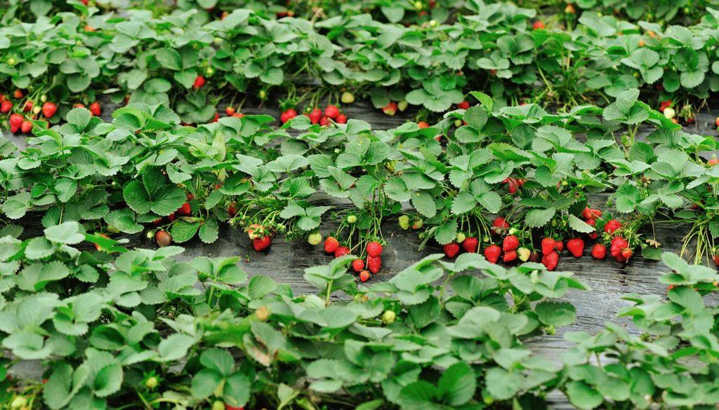 Клубника Ламбада: описание, выращивание