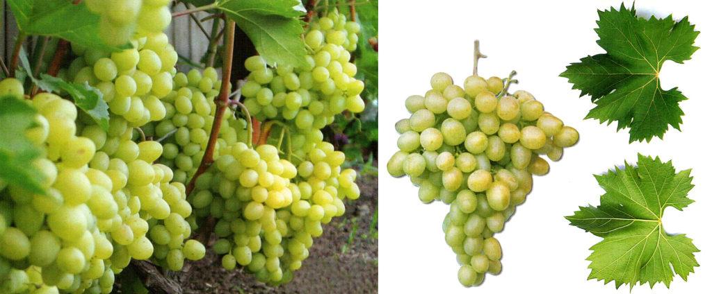 Виноград новая аркадия