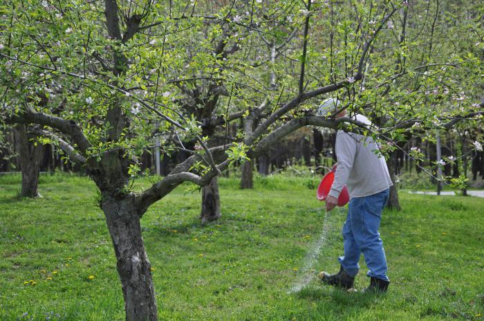 посадка абрикоса весной саженцами