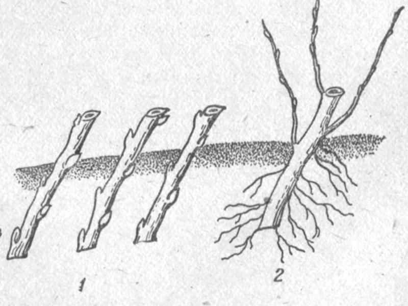 Выращивание черенков