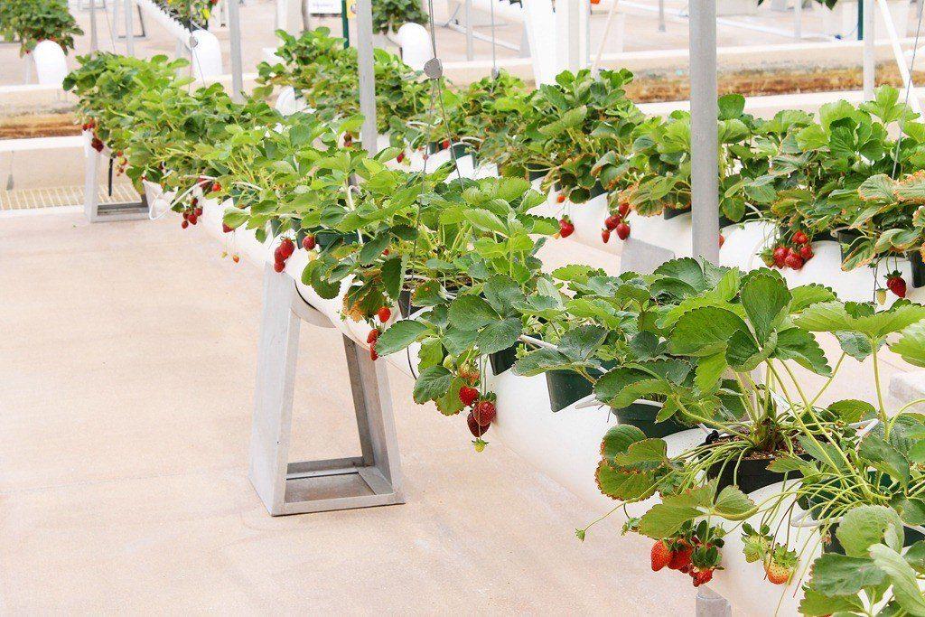 Выращивание клубники в трубах ПВХ