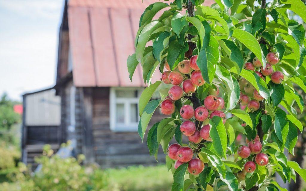 колоневидные яблони