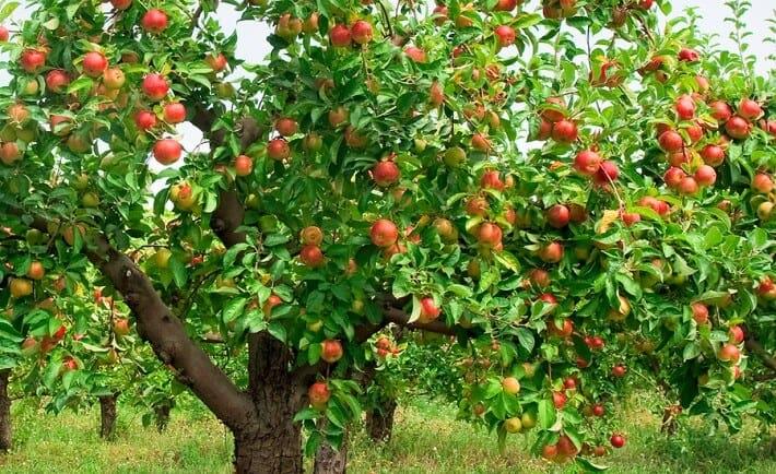 весеннее опрыскивание плодовых деревьев