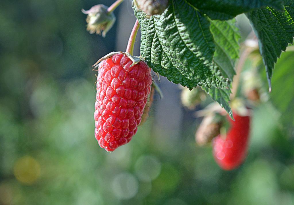 Лучшие сорта малины для средней полосы России