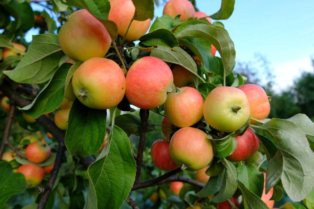 Яблоня Райская
