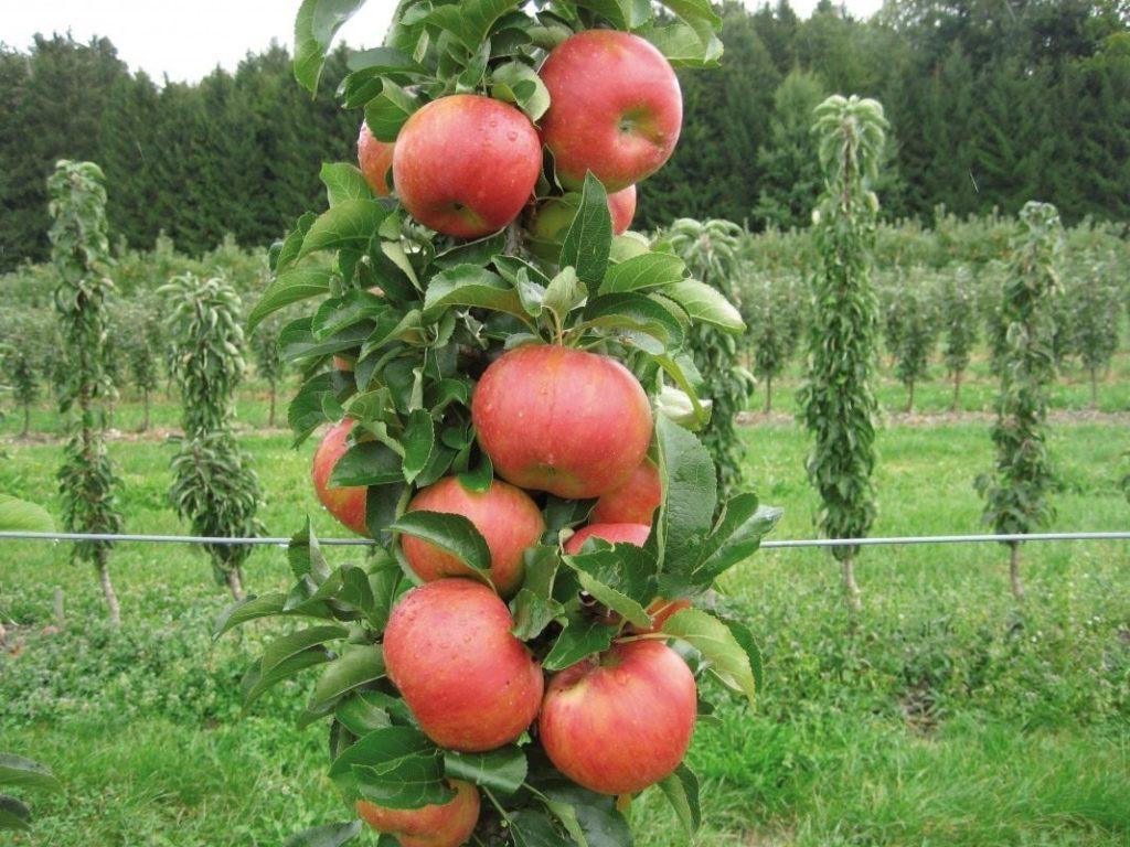 стволовая яблоня