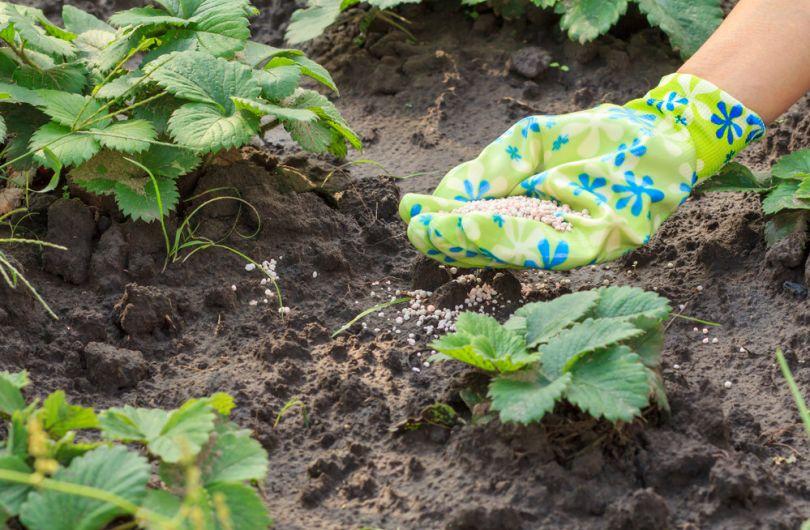 Уход за клубникой весной, летом, осенью
