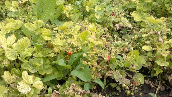 Почему у клубники желтеют листья