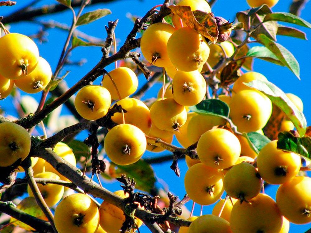 китайская золотая яблоня