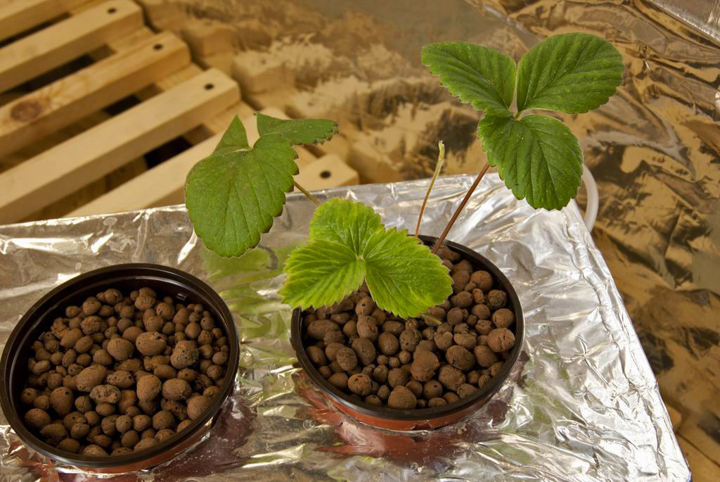Высадка семян гидропоника почему конопля не пахнет