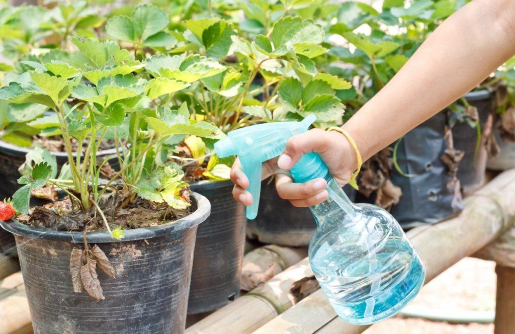 Как лечить хлороз клубники