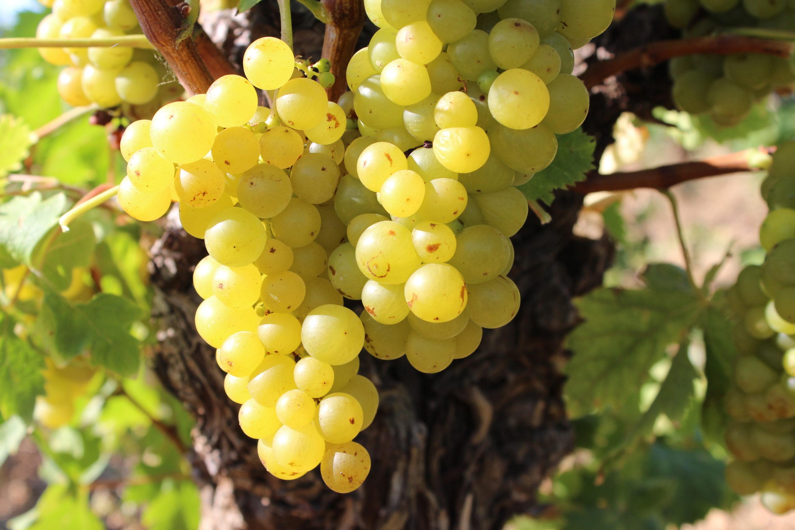 крымский виноград кокур белый