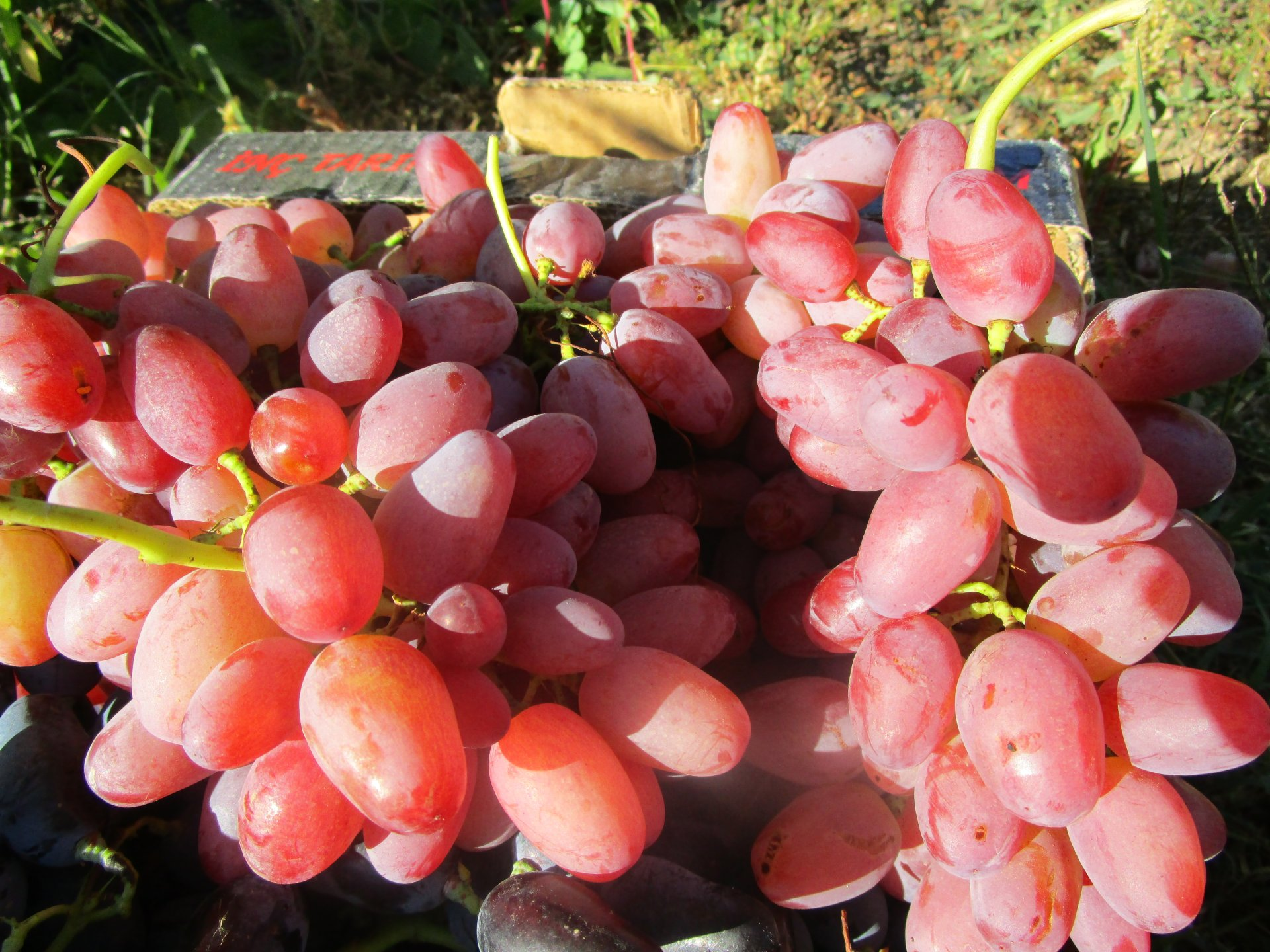 Лучшие сорта винограда для средней полосы России