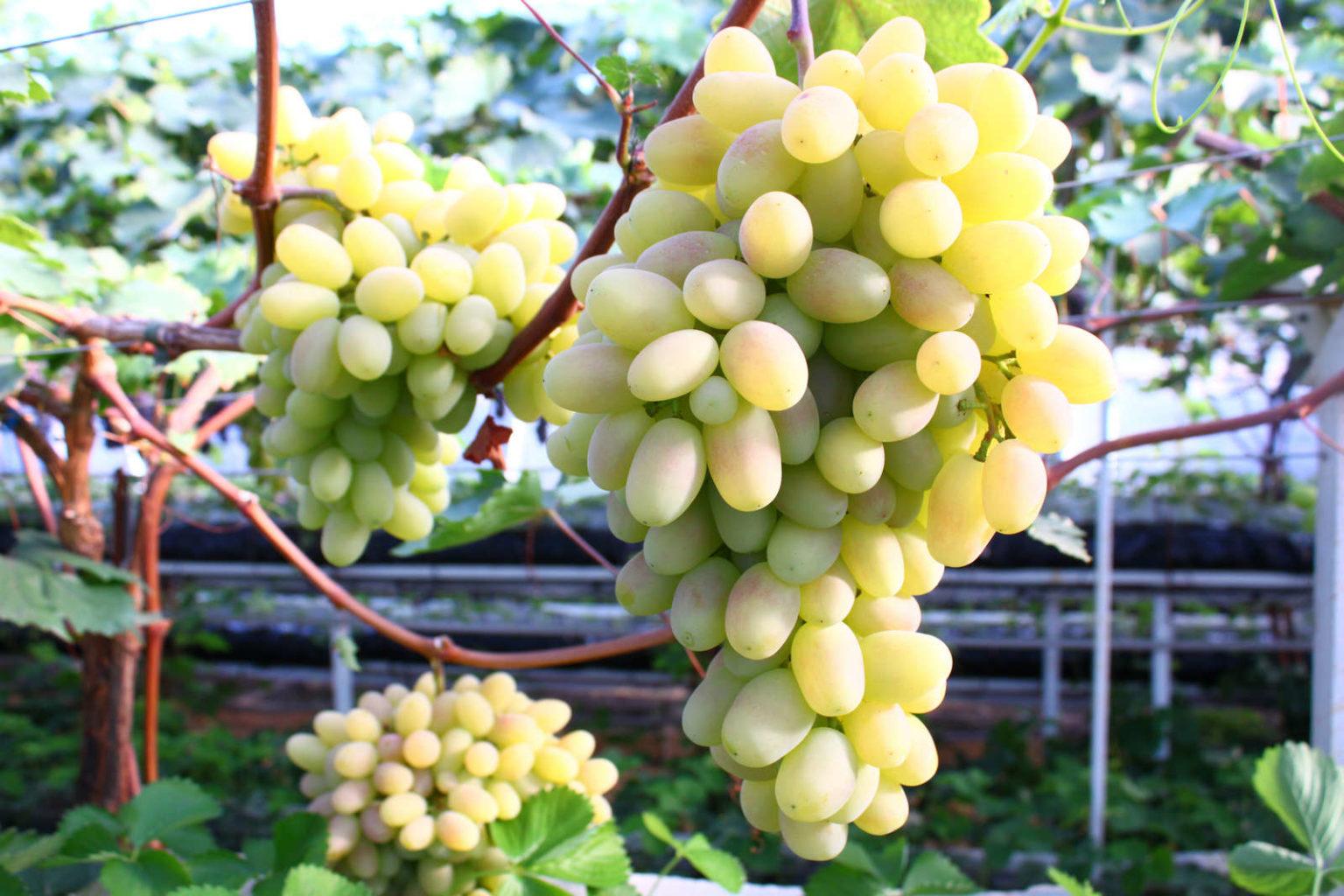 Сорт винограда благовест фото