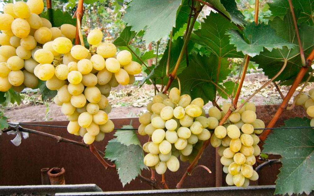 Выращивание винограда в Подмосковье