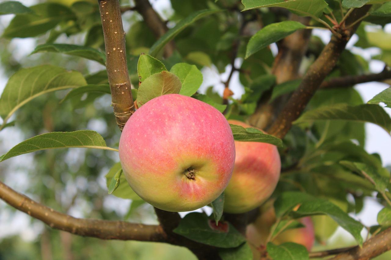 Картинка как растут яблоки