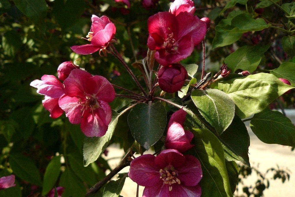 Яблоня декоративная сорт Макамик