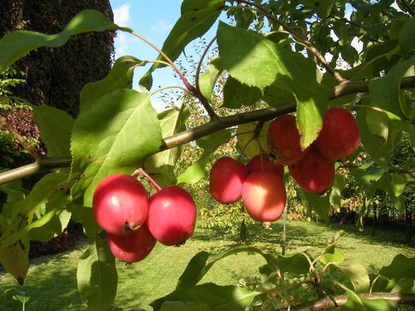 Сорта декоративной яблони