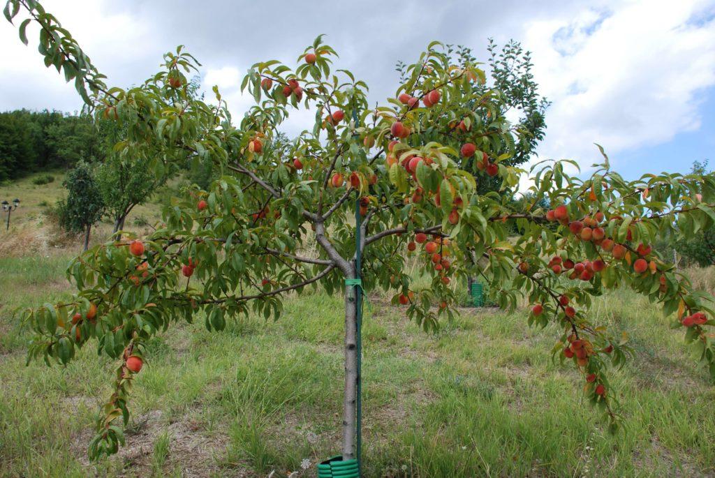 Как сажать персик