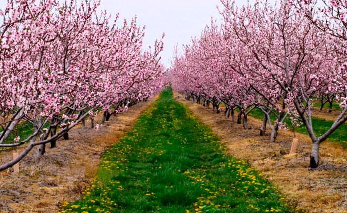 Как правильно посадить персик