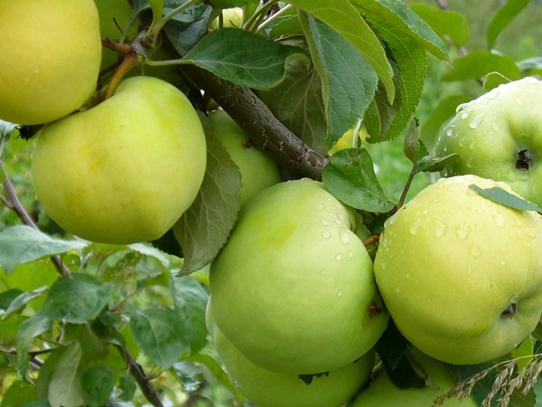 Описание яблони Антоновка