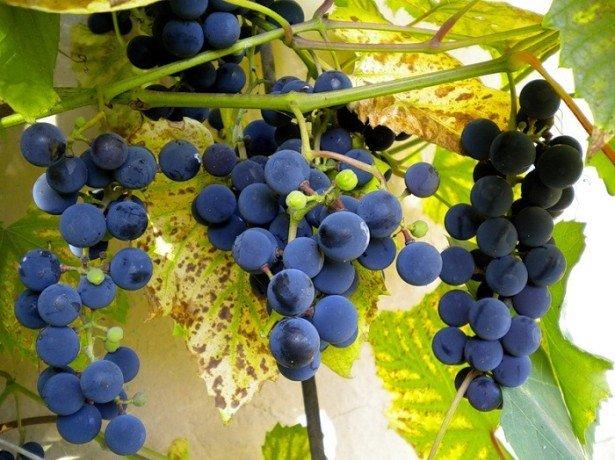 Фунгициды для лечения винограда
