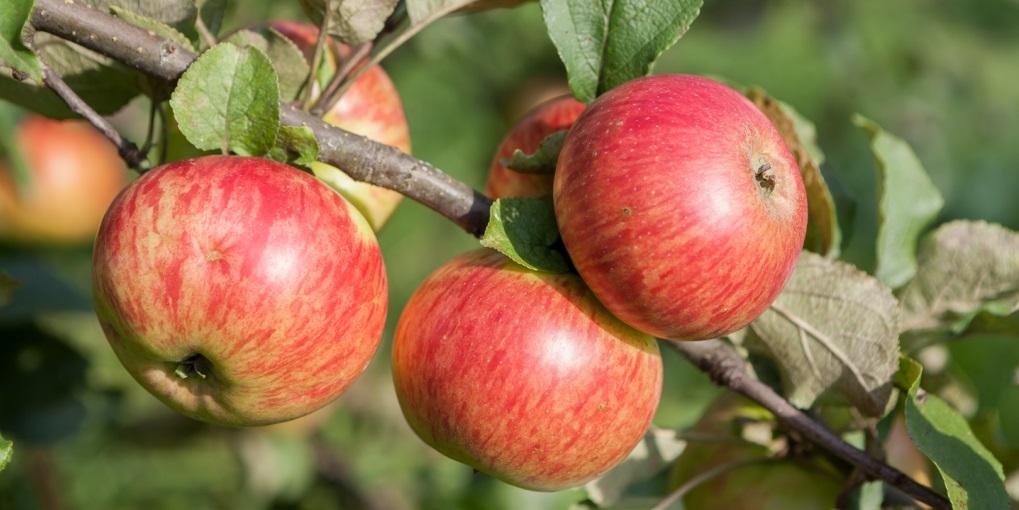 Описание сорта яблони Медуница