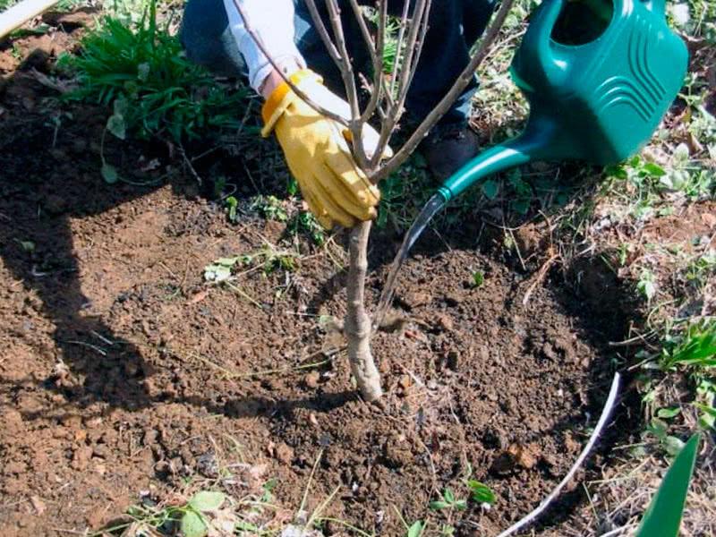 Как посадить яблоню Симиренко